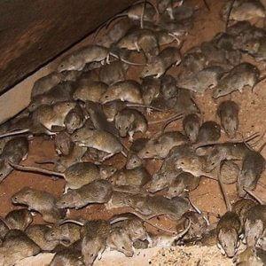 ratos transmitem doenças